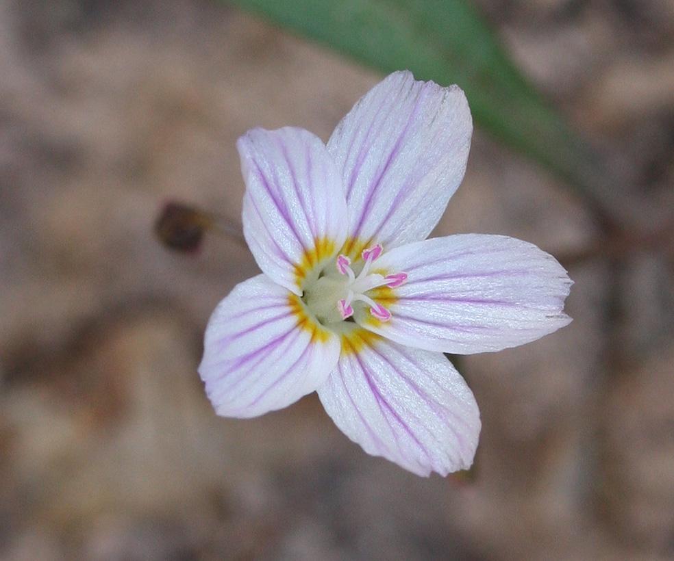 Lanceleaf Springbeauty Flower A 1000.