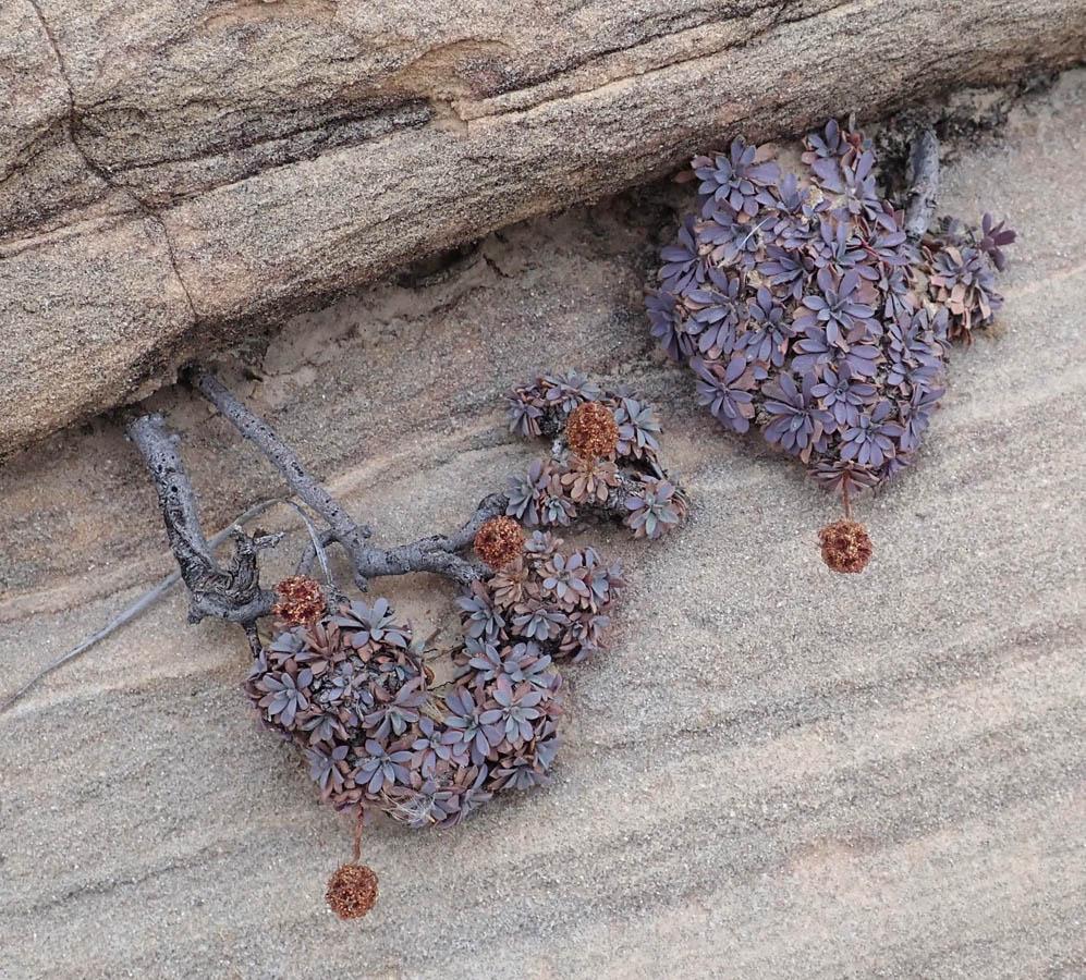 Petrophytum caespitosum S Gaurdian Dec2017 900.